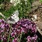 Apollo butterfly on wild thyme, TMB