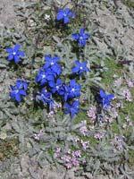 Alpine gentians