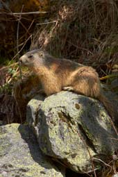 Alpine marmot. Image courtesy www.hemsleyphotography.co.uk