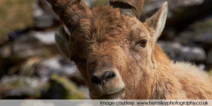 Alpine ibex - up close and personal