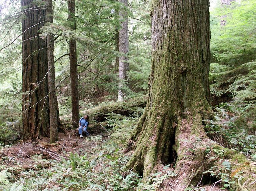 Old growth forest trees