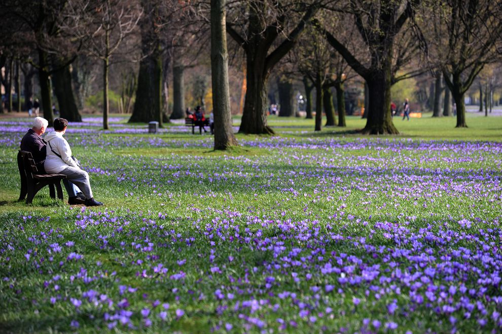 crocus flowers at an urban park in Düsseldorf, Germany