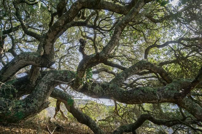 live coastal oak