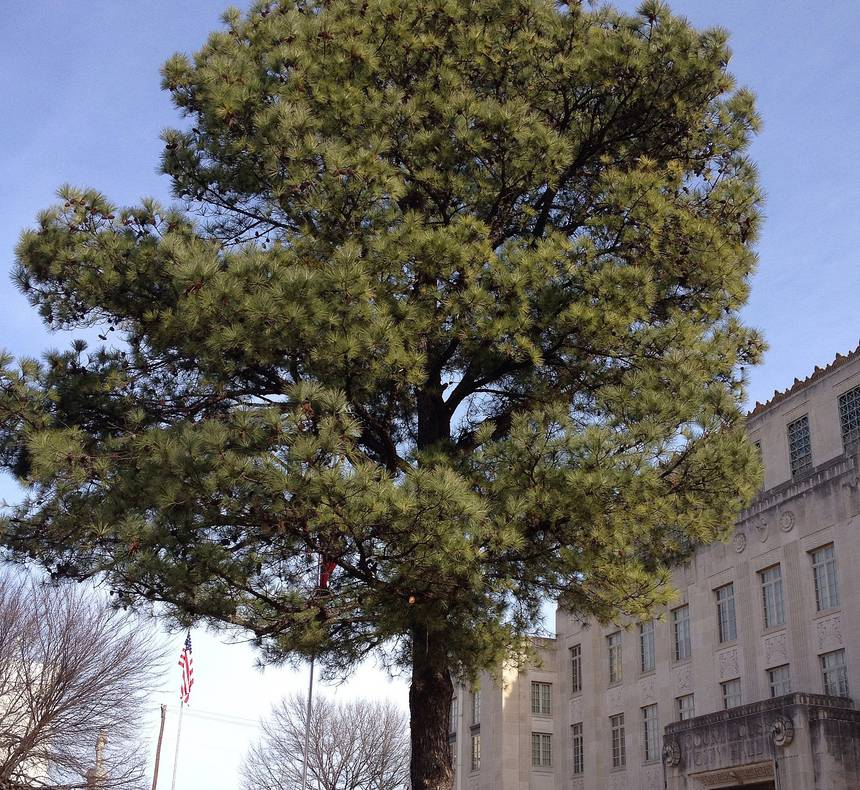 Moon Tree in front of Sebastian County Courthouse, in Fort Smith, Arkansas
