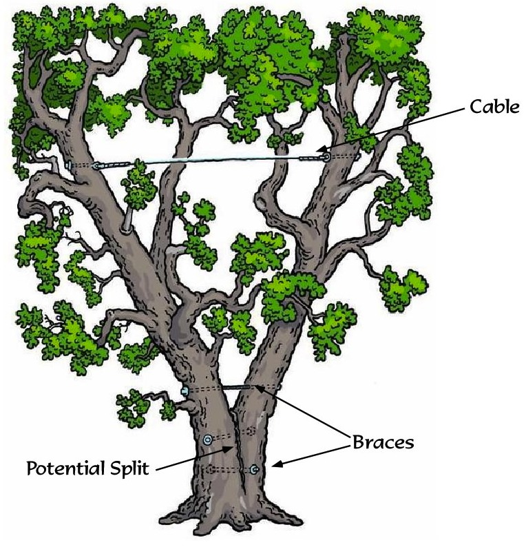 Tree Preservation, Cabling & Bracing - Tree Health Management