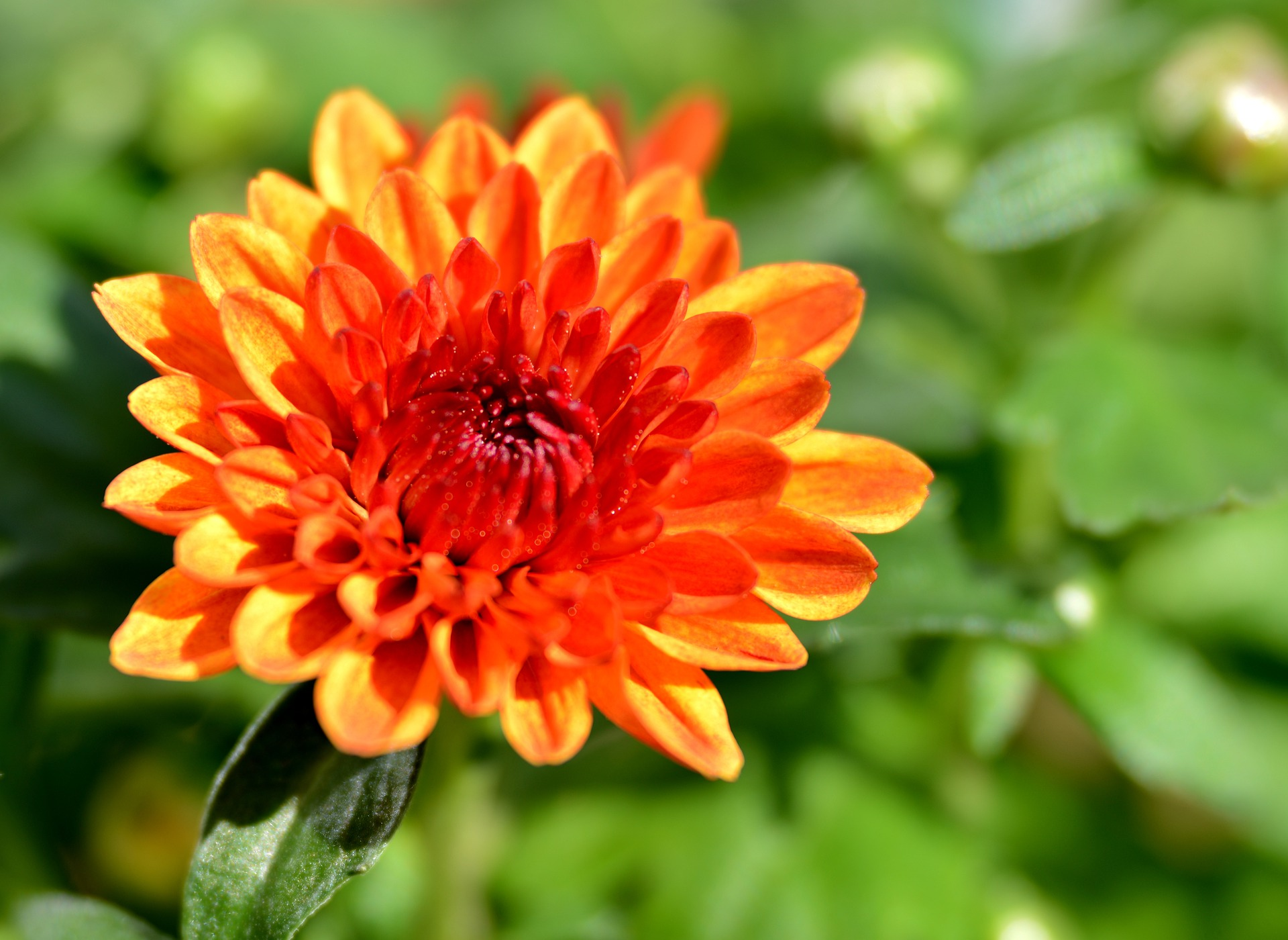 Chrysanthemums: How to Plant and Grow Mums | The Old Farmer's Almanac