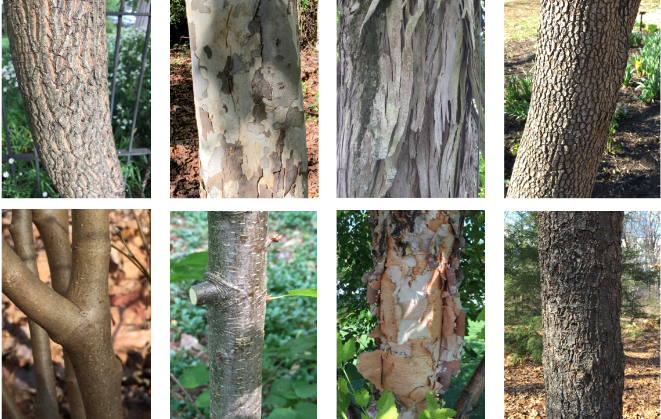 Identifying Trees by Their Bark | Master Gardeners of Northern Virginia