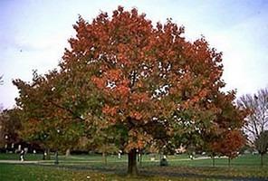 red oak shade tree
