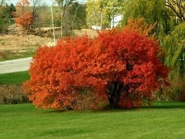 amur maple as a shade tree