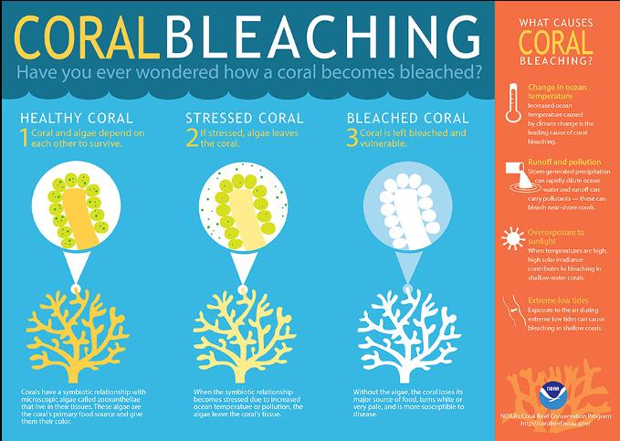 Coral Bleaching Infographic via NOAA