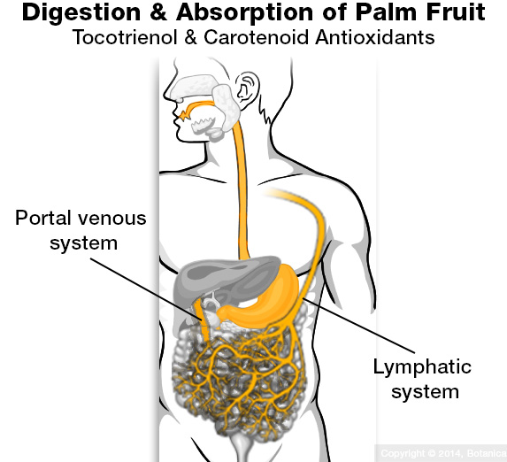 Tocotrienols and carotenoids absorbing through stomach into blood stream and lymphatic circulation