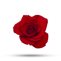 Plantio de Rosa
