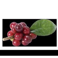 Plantio de Café