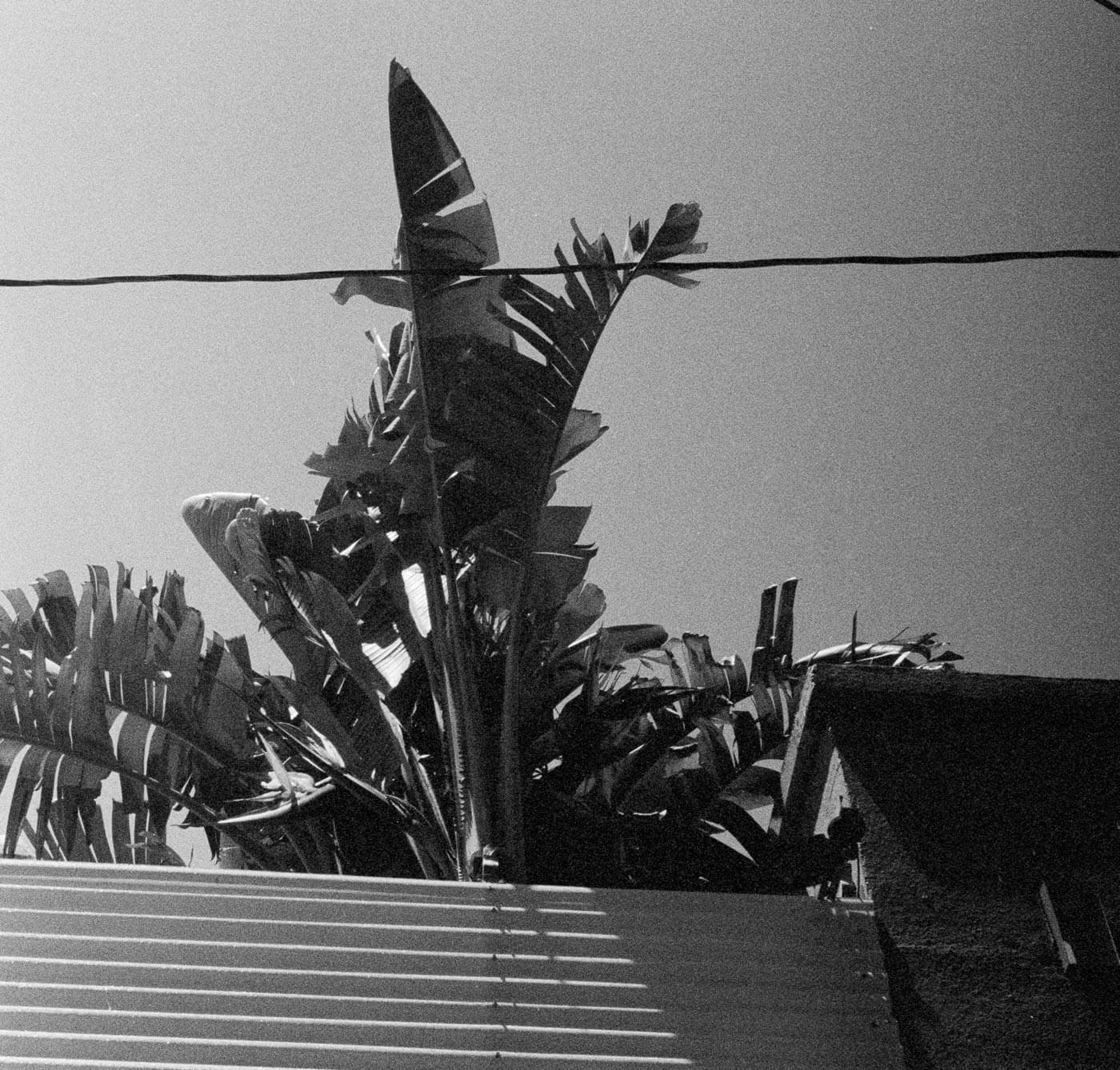 Peeking Palm