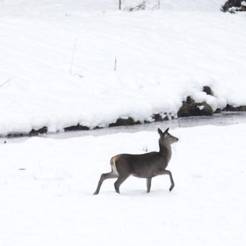 Bilde av hjort.