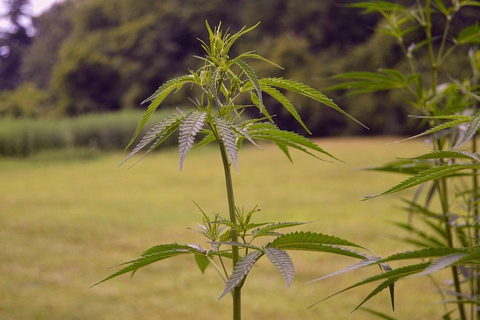 hemp plant with high cbd, low thc on us farm