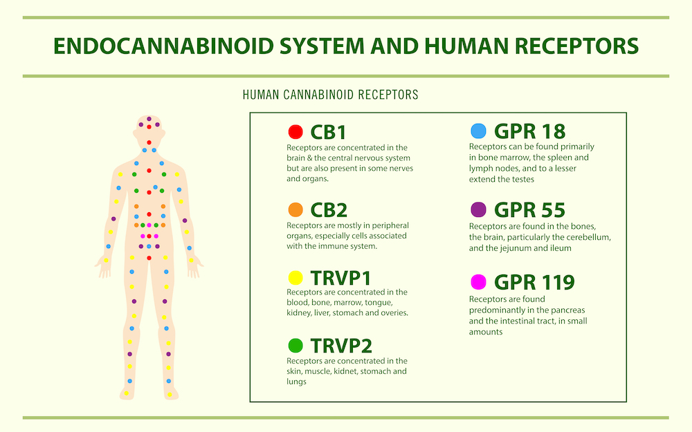 endocannabinoid system overview