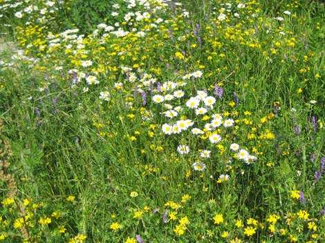 Stunning wildflower display created as part of the landscaping at Birock stormwater pond