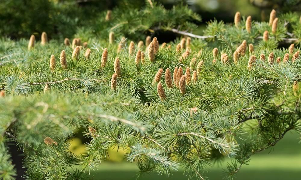Cedar tree in Texas