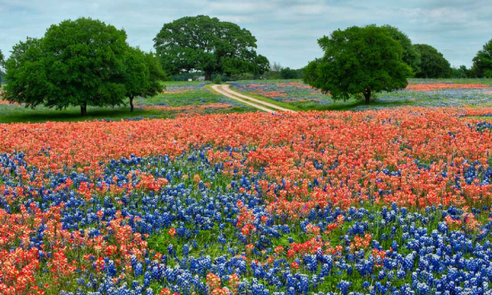 Texas flowers in field