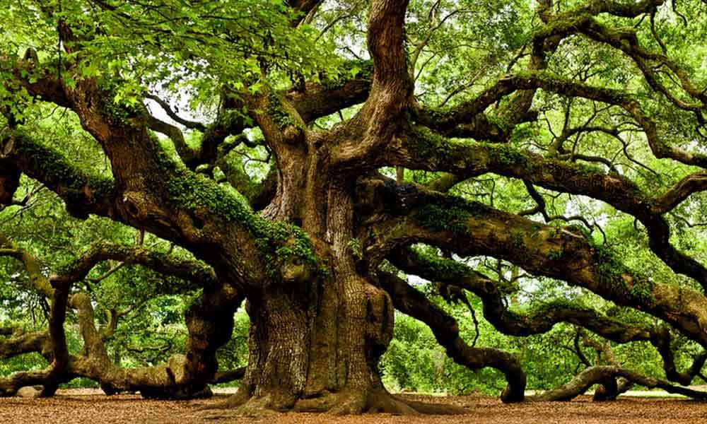Oak tree in texas