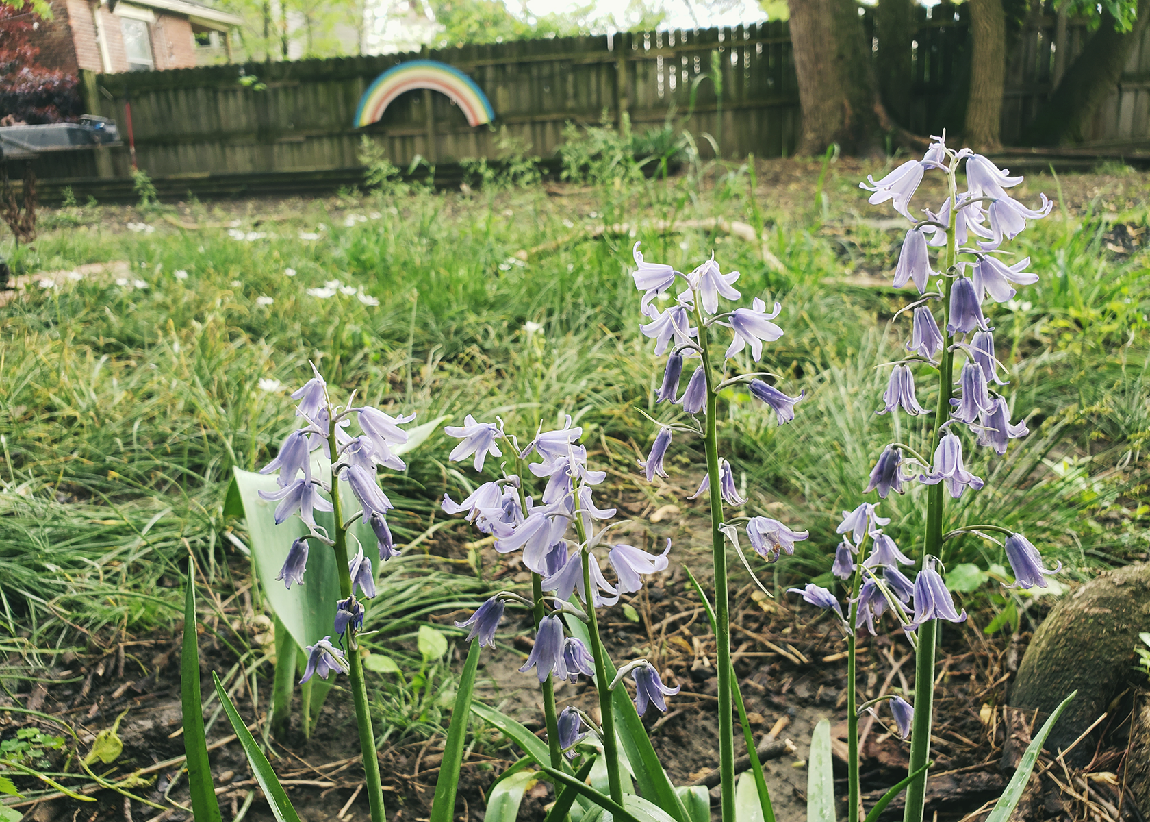 A close up of purple bell flowers in front of green grass, in the background is a fence with a large wooden rainbow hanging on it.