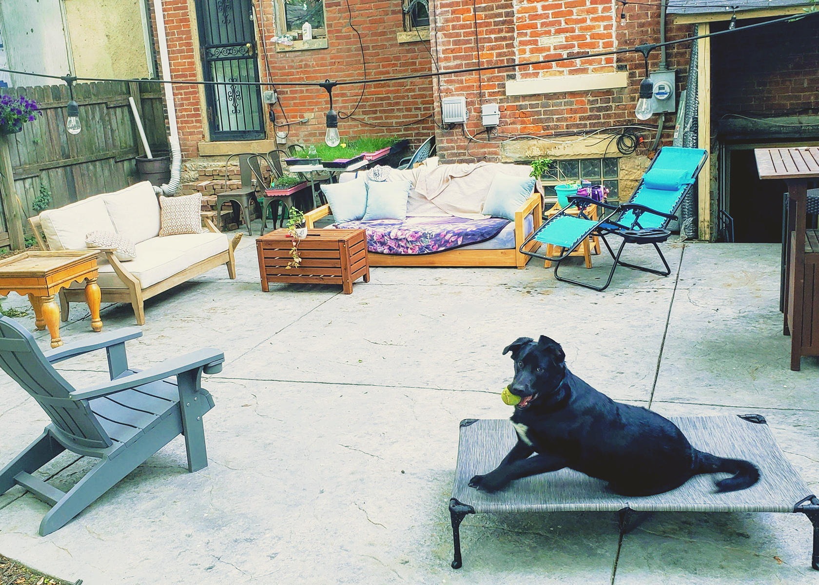 A black puppy sits on a dog bed holding a tennis ball in his mouth, the dog bed is on a large cement patio with couches and tables.