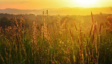 wheat-field-image