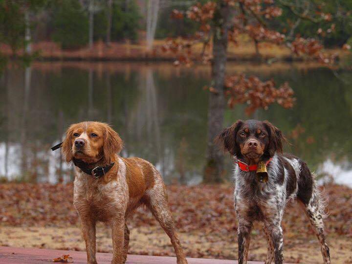 our Hunting Dogs