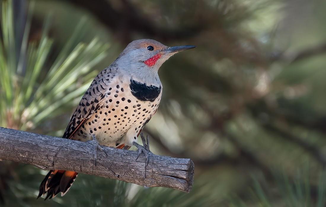 Northern Flicker. Image credit: Photo by Hayler Crews for audubonportland.org