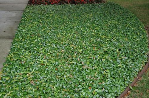 Asiatic Jasmine in Landscaped Lawn