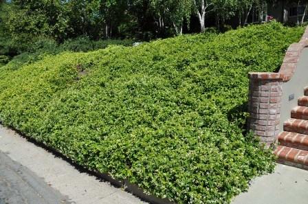 Confederate Jasmine Planter Landscaping