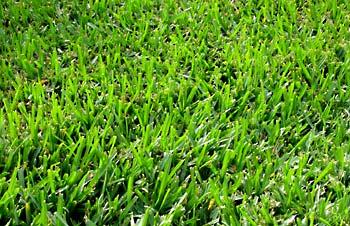 Bermuda Grass in San Antonio, TX