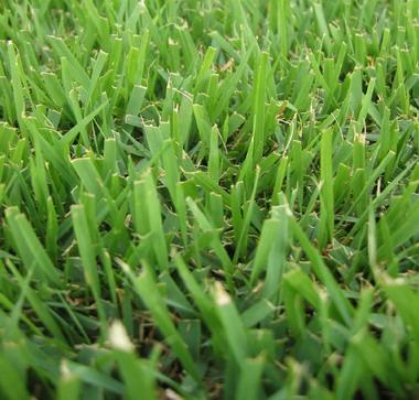 San Antonio Zoysia Grass / Sod