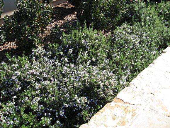 Prostate Rosemary in Planter