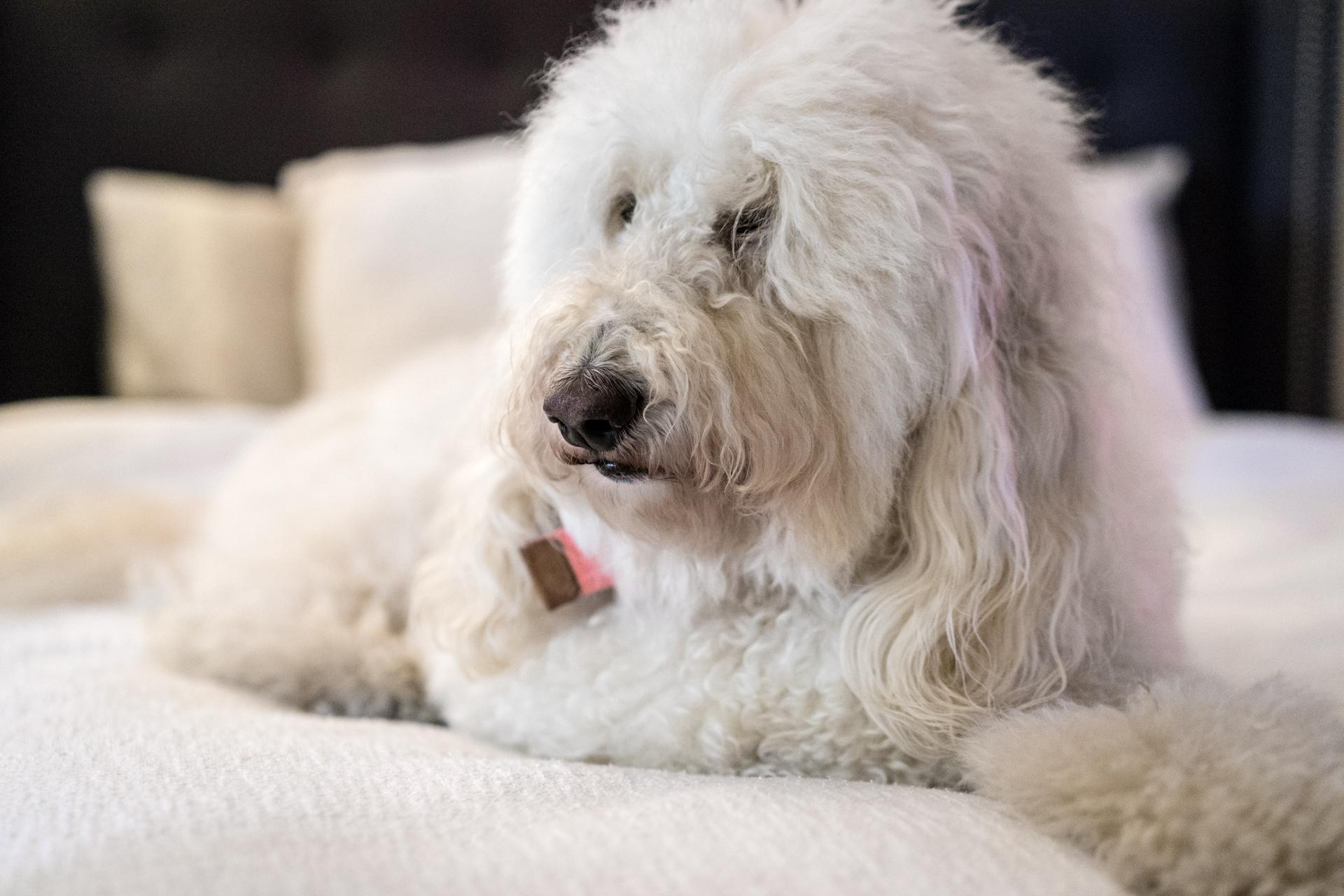 White Labradoodle Pet Photo