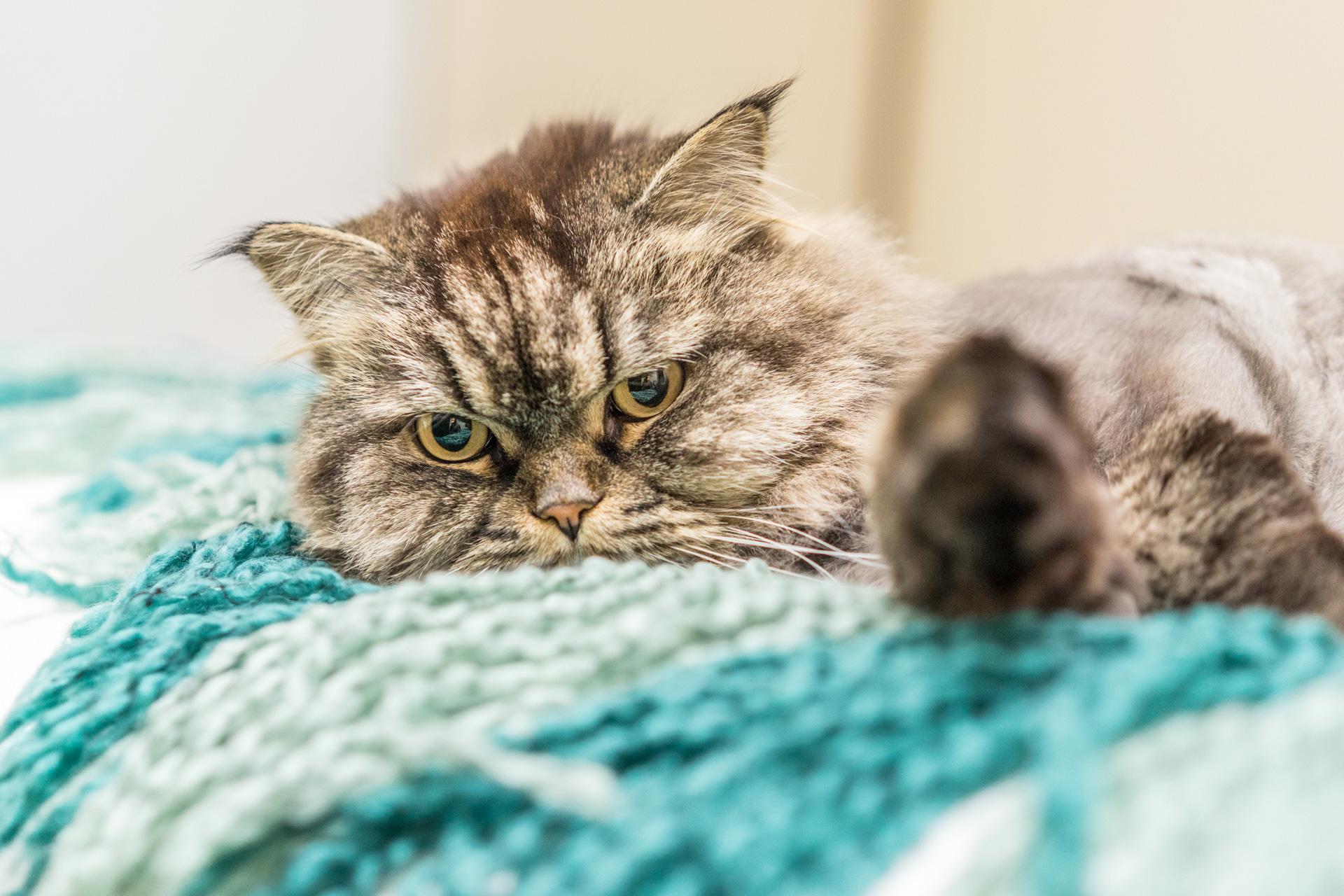 Pet Cat Photo Portrait