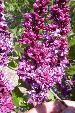 Lilac  Charles Joly
