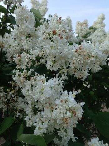 Lilac  Madame Lemoine