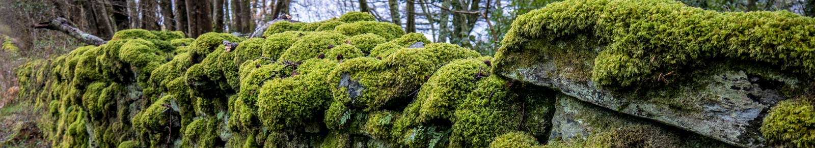Mossy wall in Appin