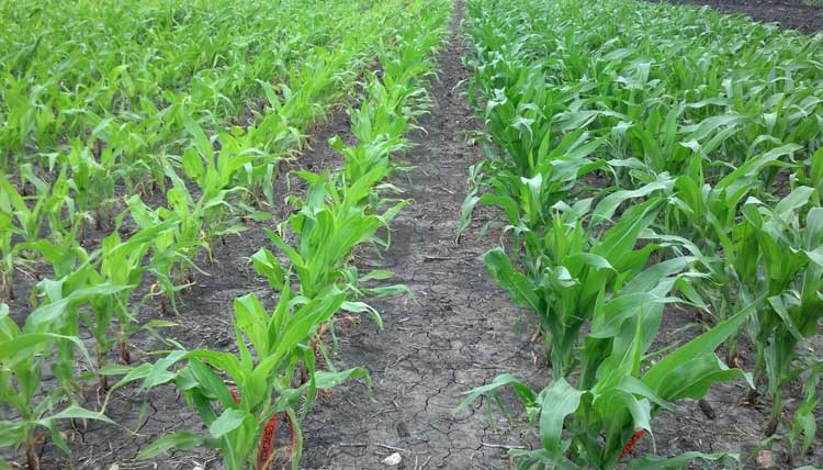 Side-by-side comparison of nitrogen stabilization with CarbonWorks Growules