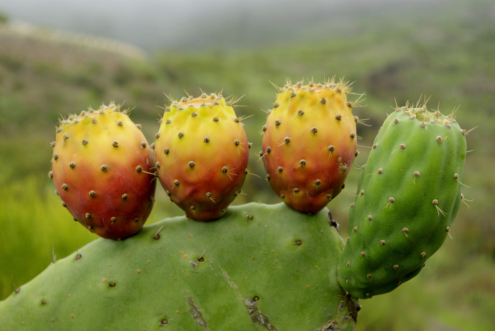 Foto van een cactus dichtbij met groen, rood en geel