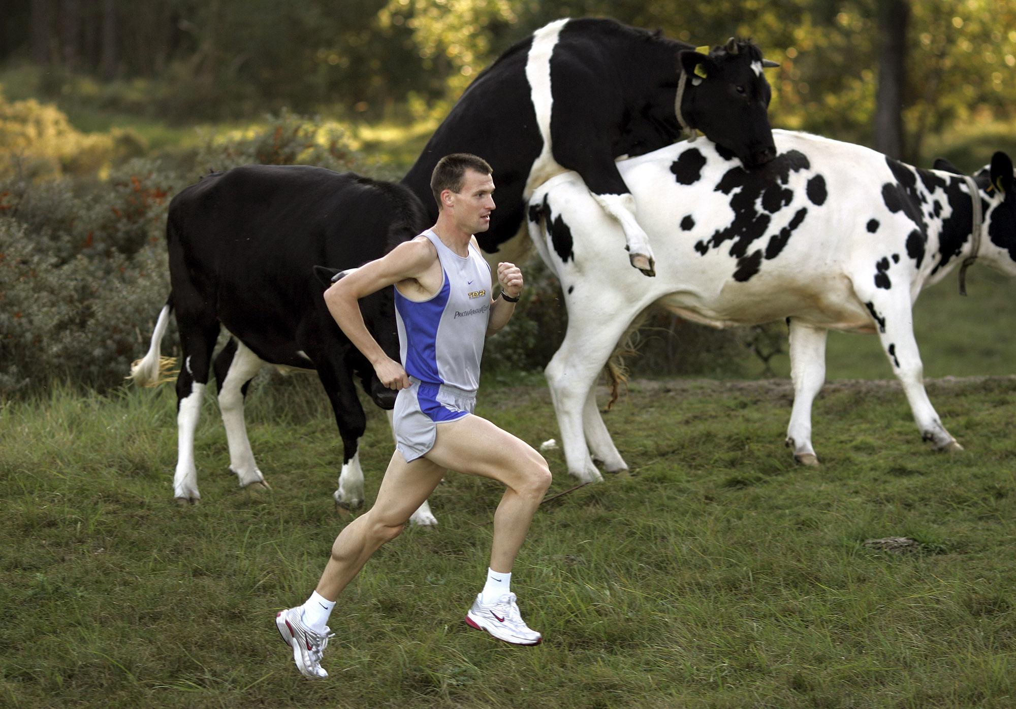 Foto van een jogger die voorbij stieren rent