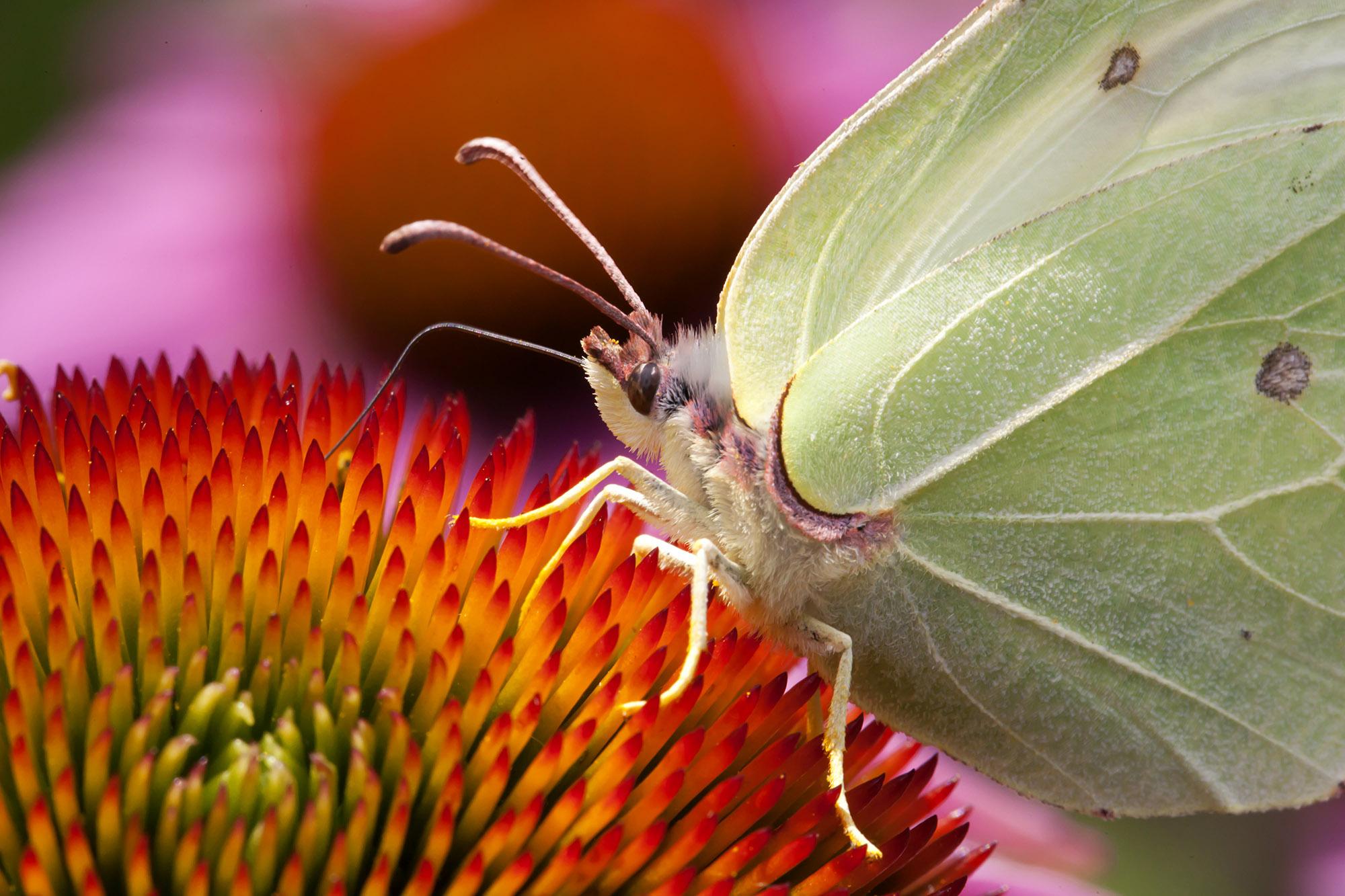 Foto van een vlinder met groene vleugels op bloem dichtbij
