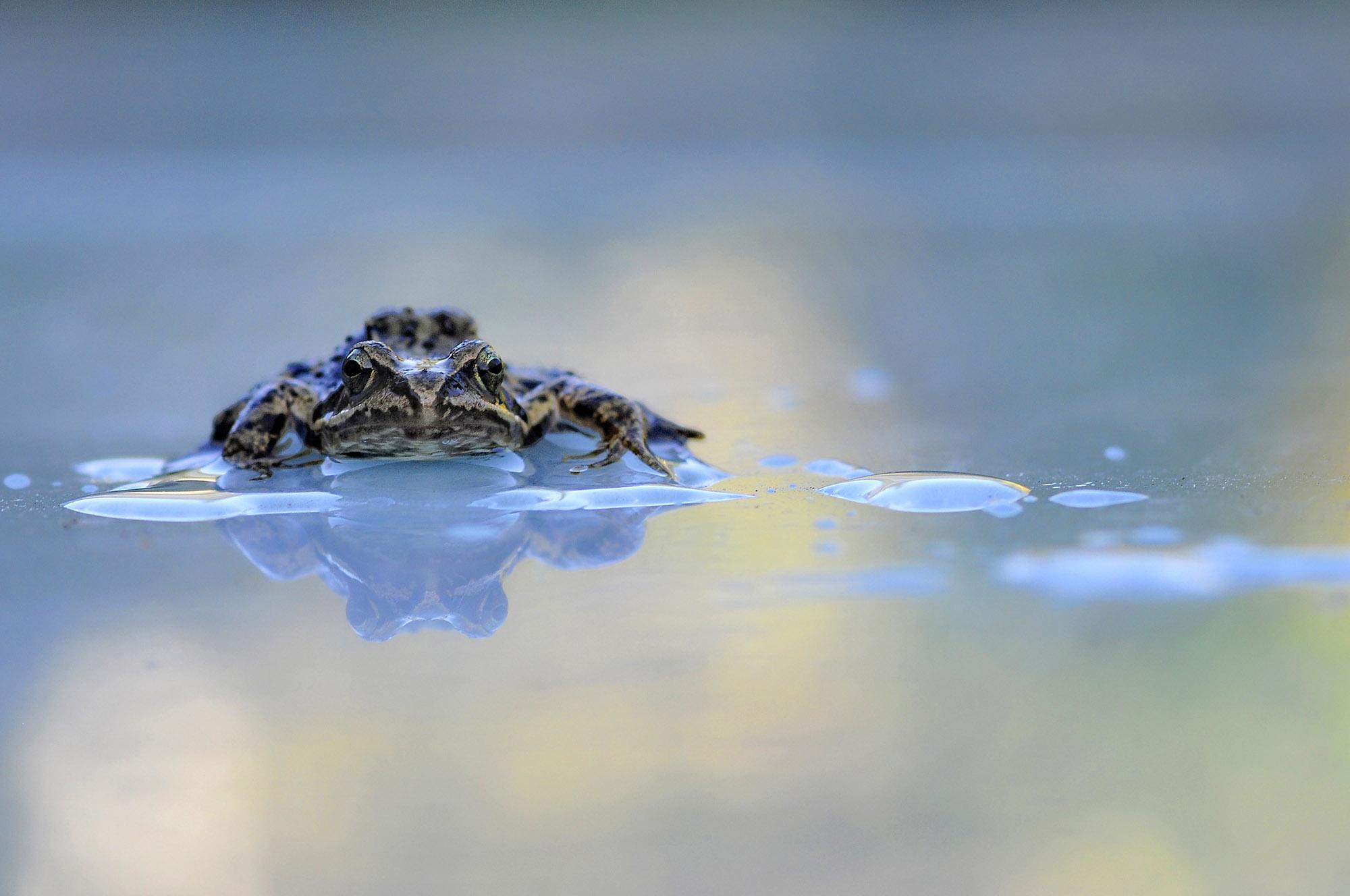 Foto van een kikker op het water