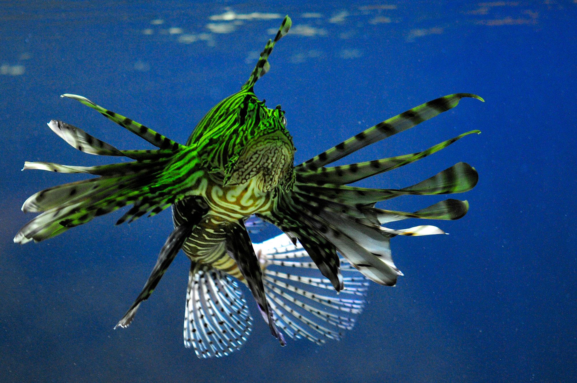 Koraalduivel onderwater