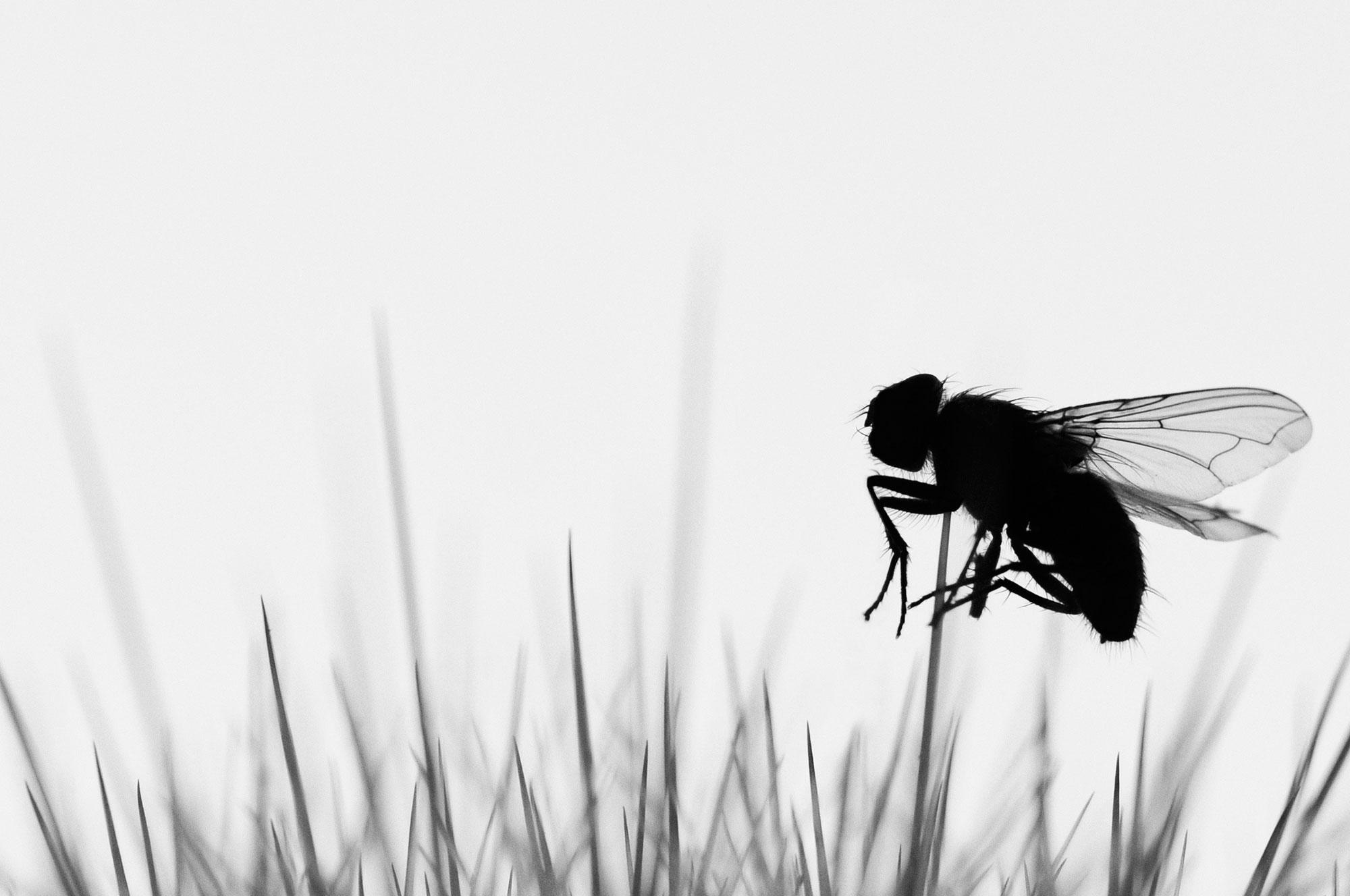 Zwartwit foto van vlieg op stekel