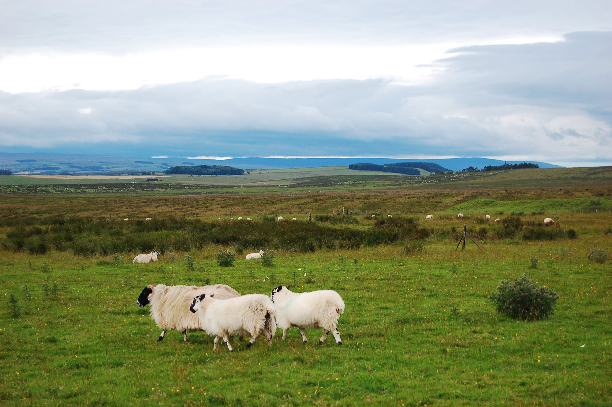 Carrawbrough schapen
