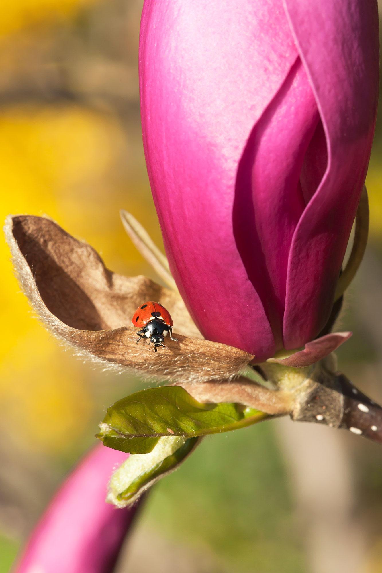 Macro opname van lieveheersbeestje op bloem