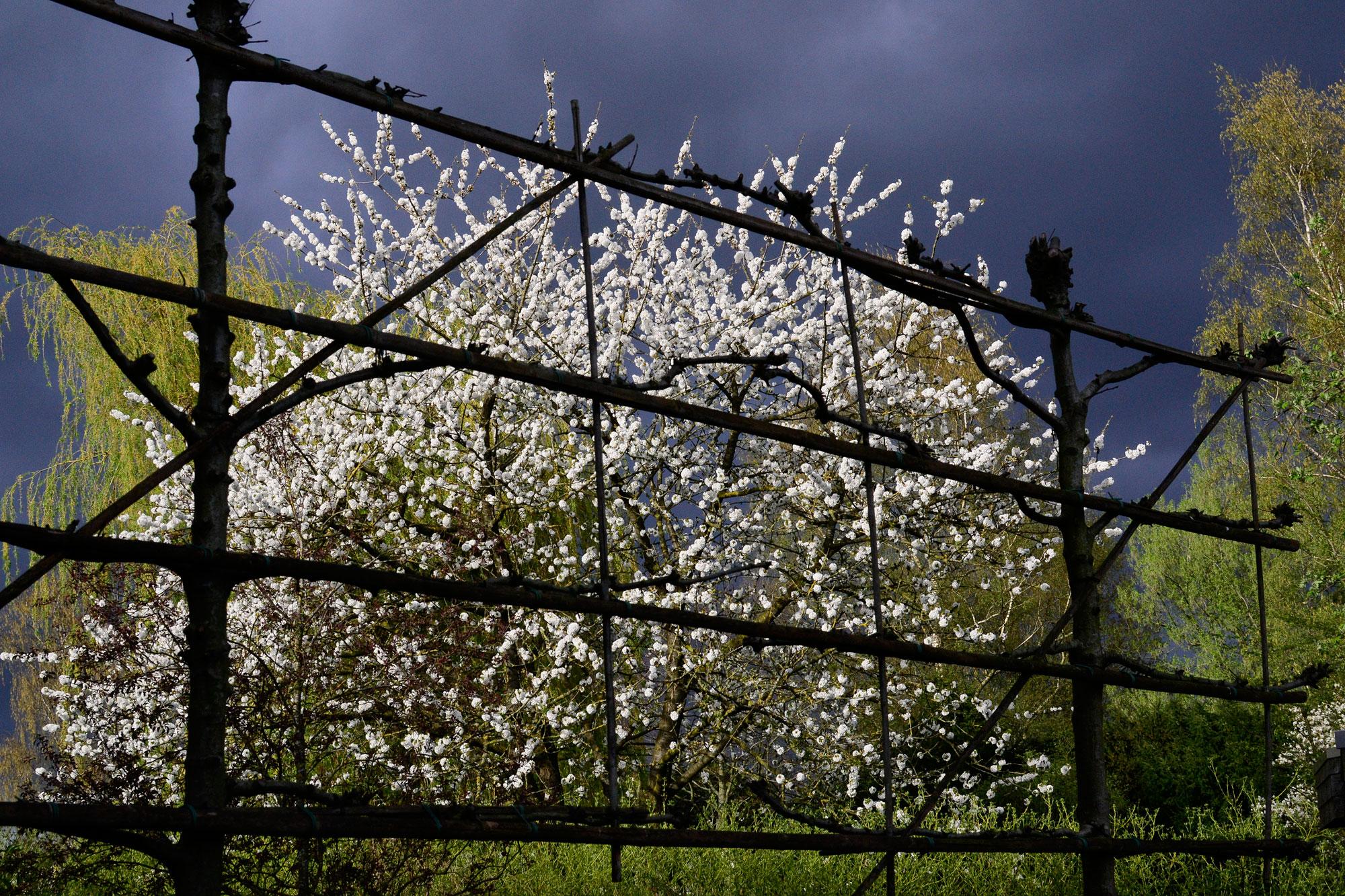 Blossoms against a dark sky